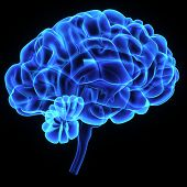 stock photo of thalamus  - The human brain has many properties that are common to all vertebrate brains - JPG