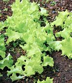 stock photo of leafy  - Plant leafy lettuce in the gardenbed in the greenhouse - JPG