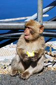 stock photo of ape  - Young Barbary Ape  - JPG