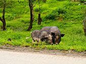 Mountain pig @umphang Tak Thailand