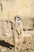 stock photo of meerkats  - A single short - JPG