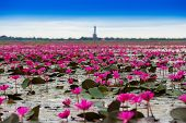 picture of marshes  - Sea of red lotus Marsh Red lotus Sea of red lotus Thailand - JPG