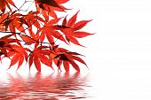 red japanese maple with water reflection