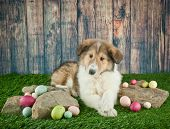 pic of laying eggs  - Cute Collie puppy laying in the grass with rocks and Easter eggs around her - JPG