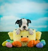 picture of duck egg blue  - Sweet little Boston puppy sitting in an Easter basket with Easter eggs around him with copy space - JPG