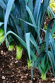 stock photo of leek  - Organic leeks growing on compost soil home gardening - JPG