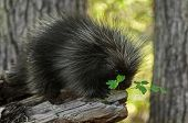 picture of nocturnal animal  - Porcupette (Erethizon dorsatum) and Greenery - captive animal