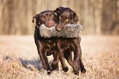 picture of toy dogs  - two dogs carrying a toy together outdoors - JPG