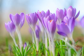 picture of fragile  - Fresh fragile beautiful first spring crocus blossoming pastel flowers on sunlit Alpine glade - JPG