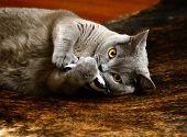 stock photo of portrait british shorthair cat  - Portrait photo of a british blue cat playing with pillow - JPG
