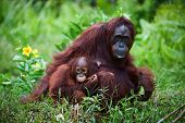 Female Orangutan With The Baby On A Grass.