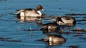 pic of pintail  - Pintail swimming in a marsh in New Mexico - JPG