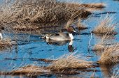 Pintail In A Warsh