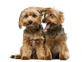 image of yorkshire terrier  - Yorkshire terrier in front of a white background - JPG