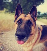 stock photo of shepherds  - a german shepherd dog out in nature looking at a ball to be thrown with his tongue out  - JPG