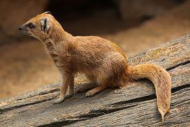 image of meerkats  - Yellow mongoose  - JPG