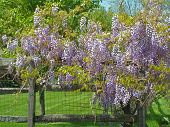 stock photo of split rail fence  - Wisteria vine growing on a split rail fence - JPG
