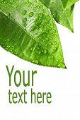 Постер, плакат: зеленые листья изолированные на белом