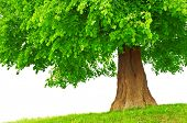 image of planting trees  - large green tree close up - JPG