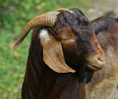 goat - South African Boer buck portrait - color is called Kalahari