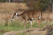 Deer Buck In The Long Grass 3