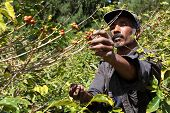 stock photo of coffee crop  - Coffee farmer picking ripe cherry beans for harvesting on the island of st helena - JPG