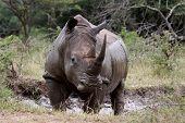 Averstruzes, rinocerontes brancos.