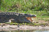 Krokodil am Nil