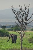 Elephant in african savanna
