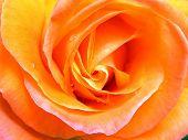 Orange And Pink Rose