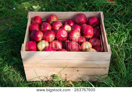 Apples Red Ripe Fruits In