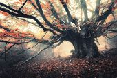 Old Magical Tree With Big Branches And Orange Leaves In Fog At Dusk. Mystical Autumn Foggy Forest. S poster