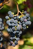 Close-up Of Bunches Of Ripe Red Wine Grapes On Vine, Selective Focus poster