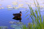 foto of duck pond  - brown duck on surface of lake - JPG