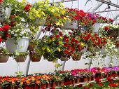 Multicolored flowers in hanging baskets in a greenhouse