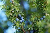 Close-Up Of Juniper Berries Growing On Tree.  Juniper branch with blue berries growing outside. poster