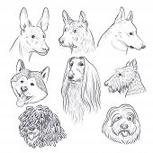 Purebred Dog Head Sketch. Rare Canine Breeds. Hand Drawn Dog Vector Collection Isolated On White Bac poster