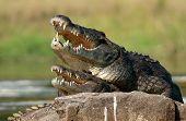 Nile Crocodile (crocodylus Niloticus), Mating,