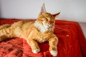Maine Coon Cat Giant Maine Coon Cat. Breeding Of Purebred Cats At Home. poster