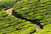 Tea plantations. Munnar, Kerala, India