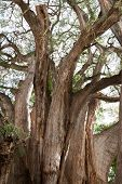 Tule tree in Mexico - the stoutest tree in the world
