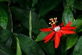Red Passion Flower - Passiflora miniata Vanderplank