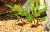 Tiger Barb Fish.