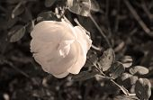 Close Photo Of A Light Bloom Of Rose In Contrast With Darker Background In Desaturated Tones poster