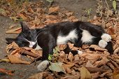Cat Sleeping In The Dry Autumn Leaves In The Garden. poster
