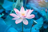 Lotus flower and Lotus flower plants poster