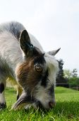 picture of pygmy goat  - A young Pygmy goat grazing in a field - JPG