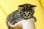 Little kitten on human hand at yellow background.