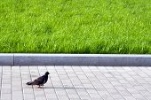 dark lonely pigeon walking by the pavement in summer city