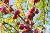 Rich Harvest Concept. Apples Red Ripe Fruits On Branch Sky Background. Apples Harvesting Fall Season poster